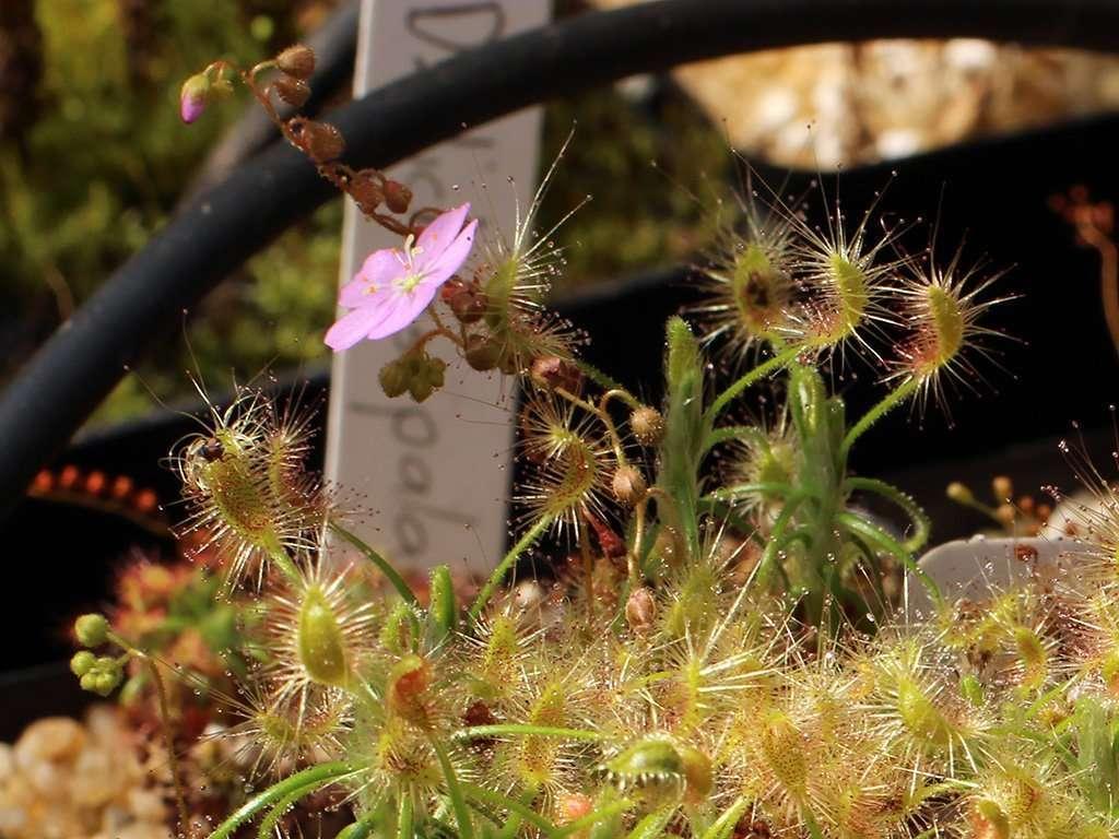 drosera scorpioides flower