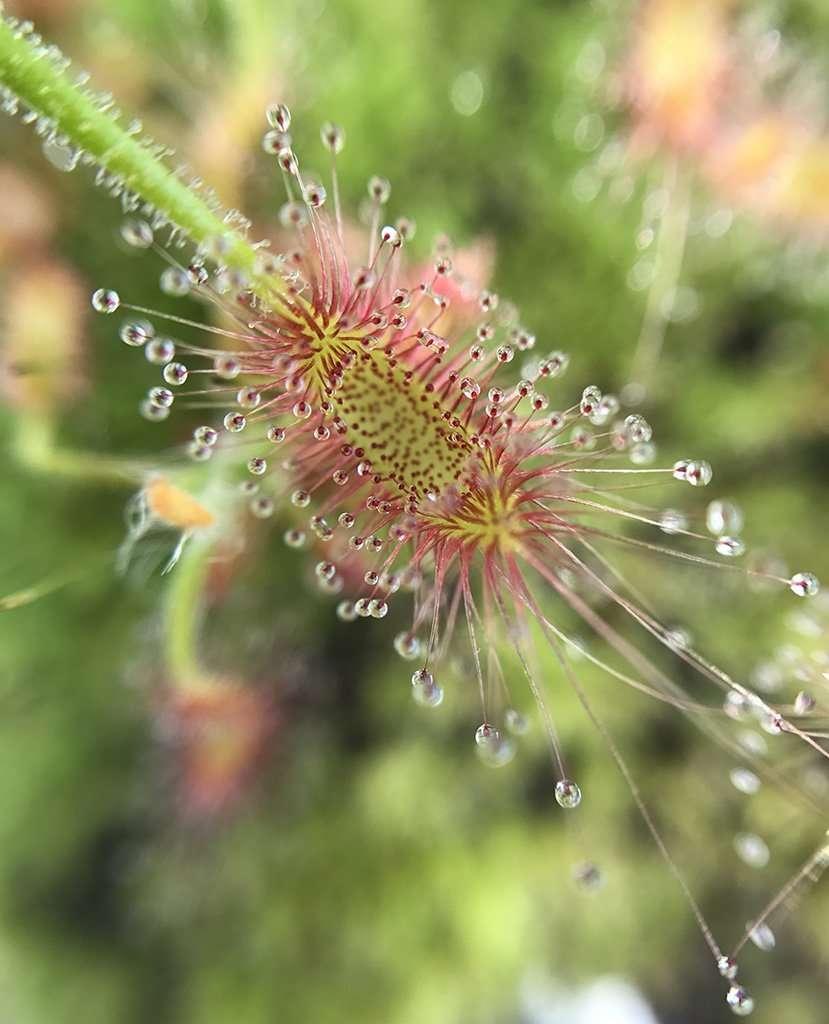 Drosera scorpioides pygmy leaf
