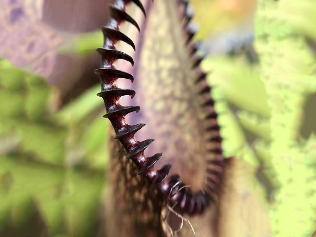 Nepenthes hamata peristome closeup