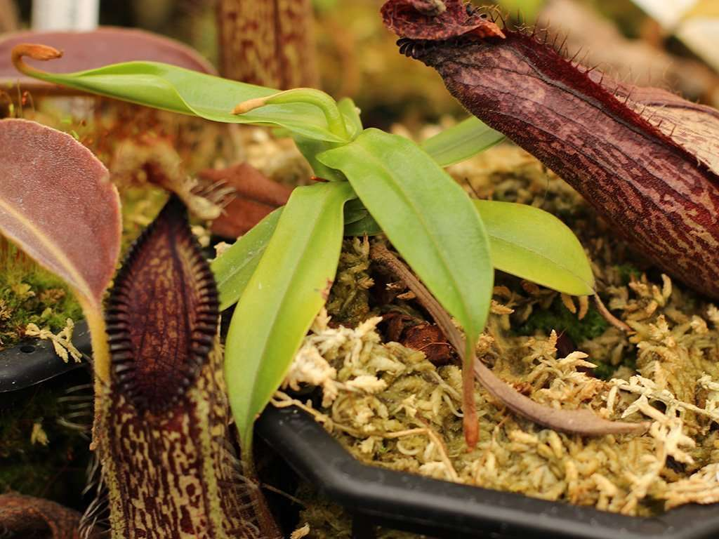 Nepenthes hamata petioles
