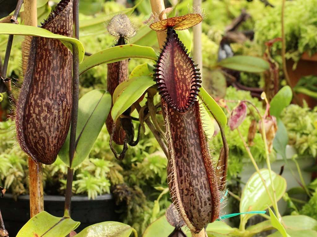 Pitchers of Nepenthes hamata