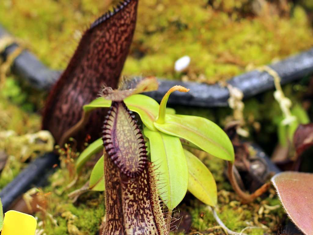 Nepenthes hamata plant with tendrils