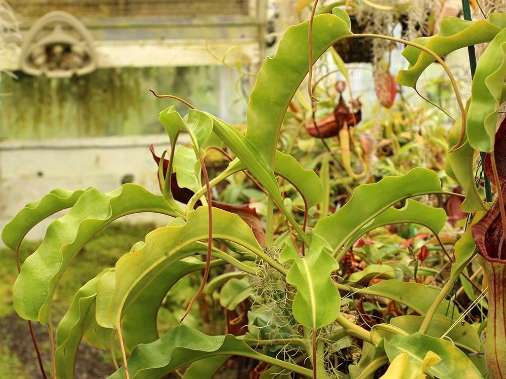 Nepenthes lowii x truncata foliage
