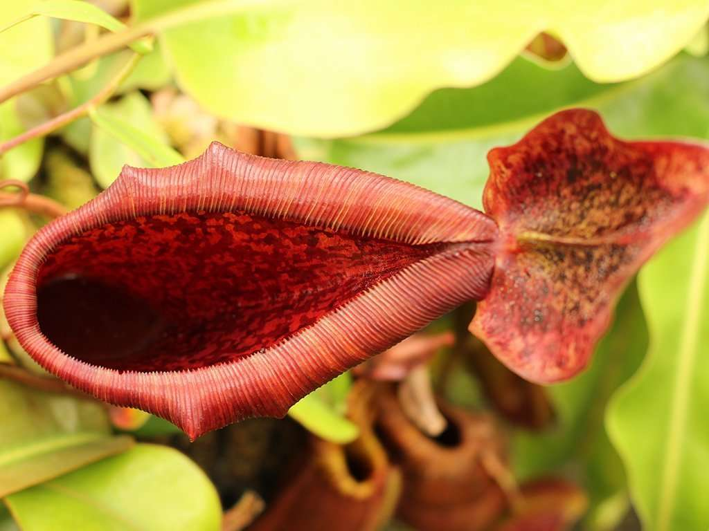 Nepenthes lowii x truncata peristome