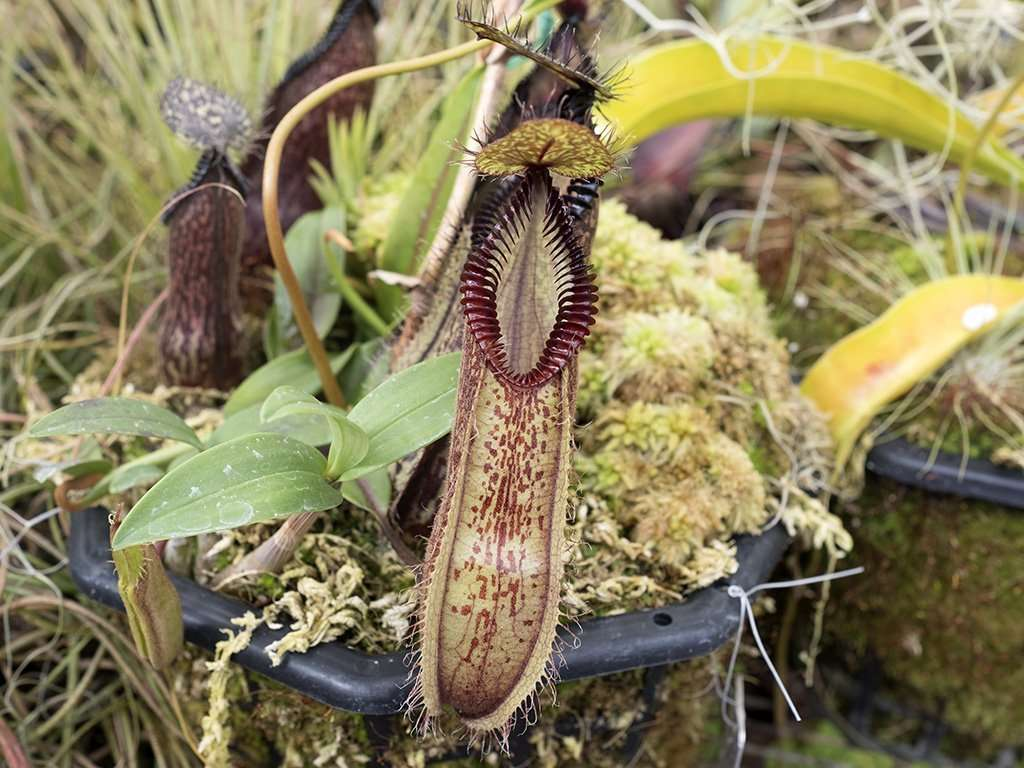 Newly opened Nepenthes hamata pitcher