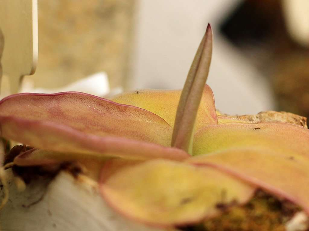 closeup of Pinguicula moranensis leaf