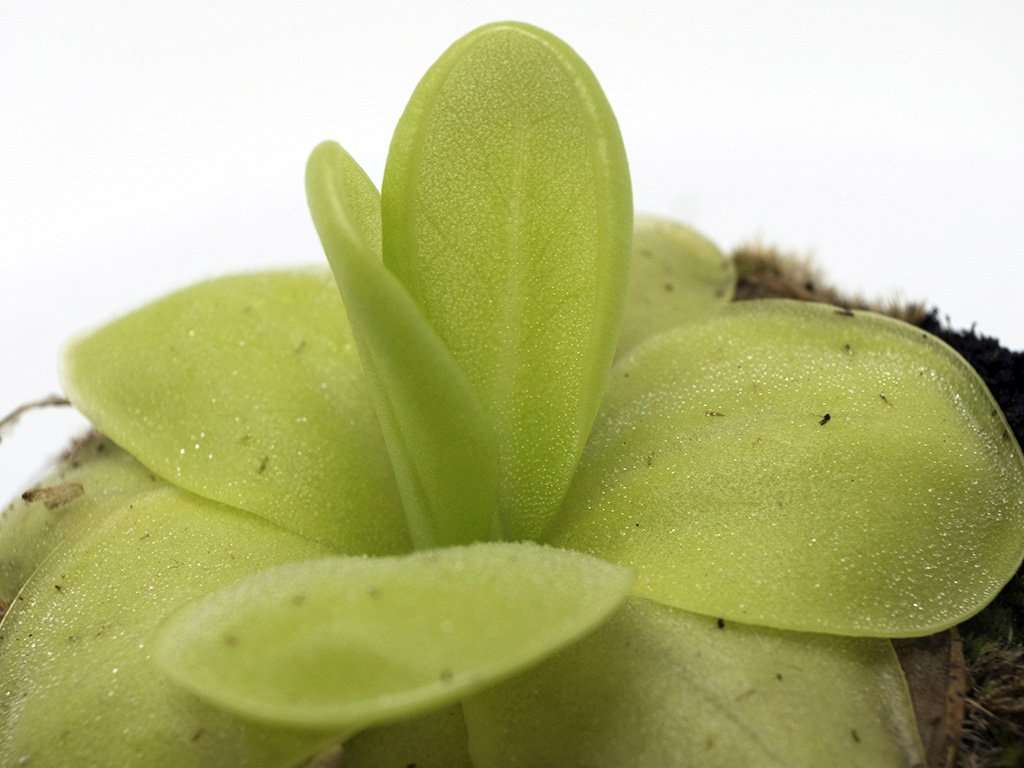 Pinguicula moranensis leaves