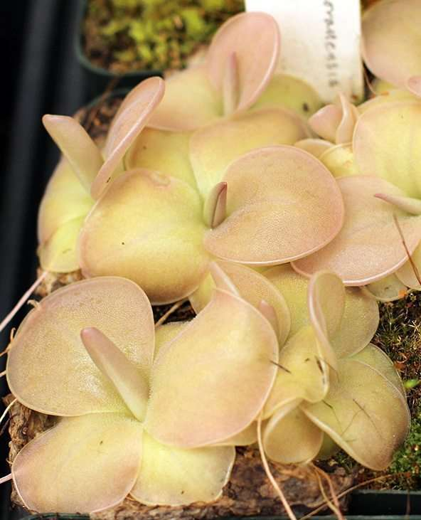 Pinguicula moranensis butterwort