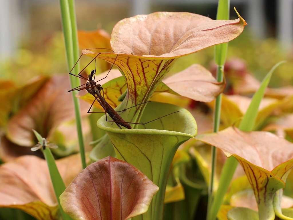 Sarracenia flava var cuprea with insect