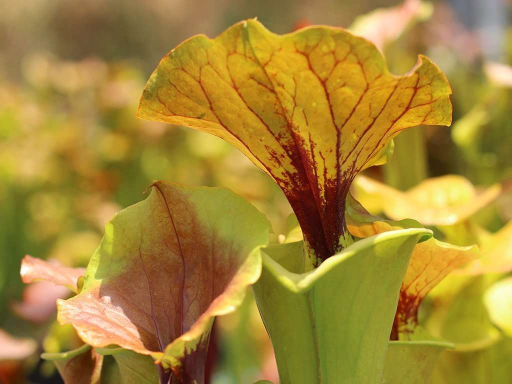 Sarracenia flava cuprea with ruffled lid