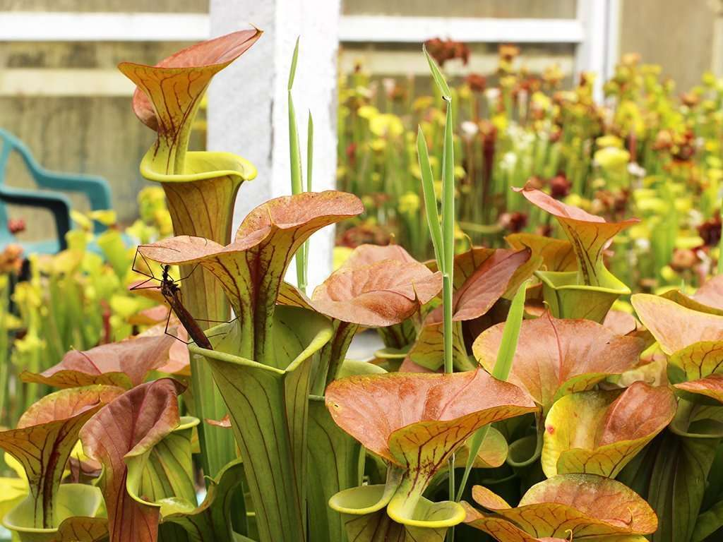 Sarracenia flava var cuprea pitchers