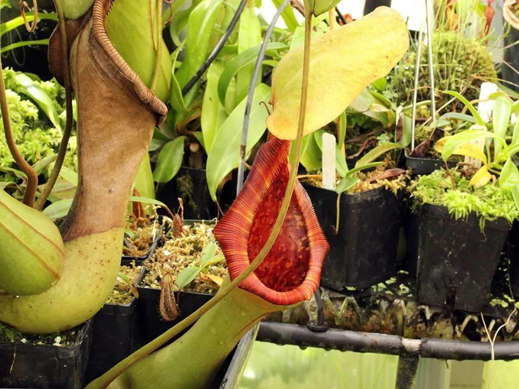 lowii x truncata pitcher mouth