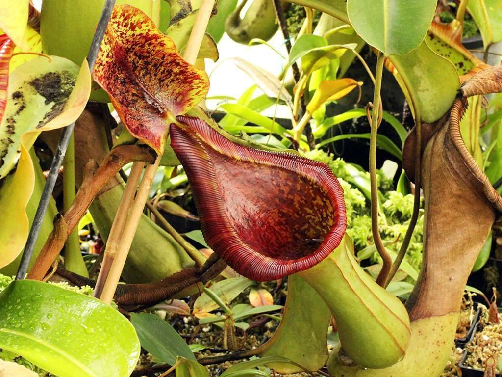 Nepenthes lowii x truncata pitcher
