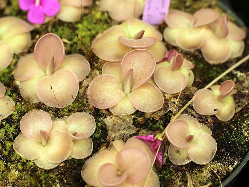 mass of pinguicula moranensis