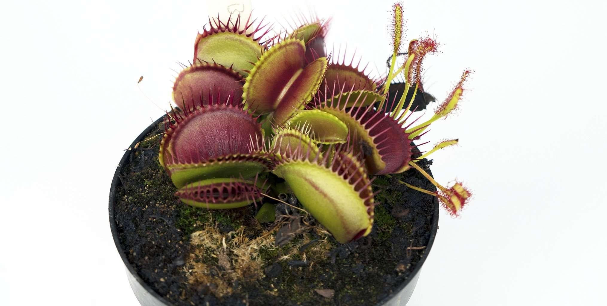 Dionaea Big Mouth Venus flytrap
