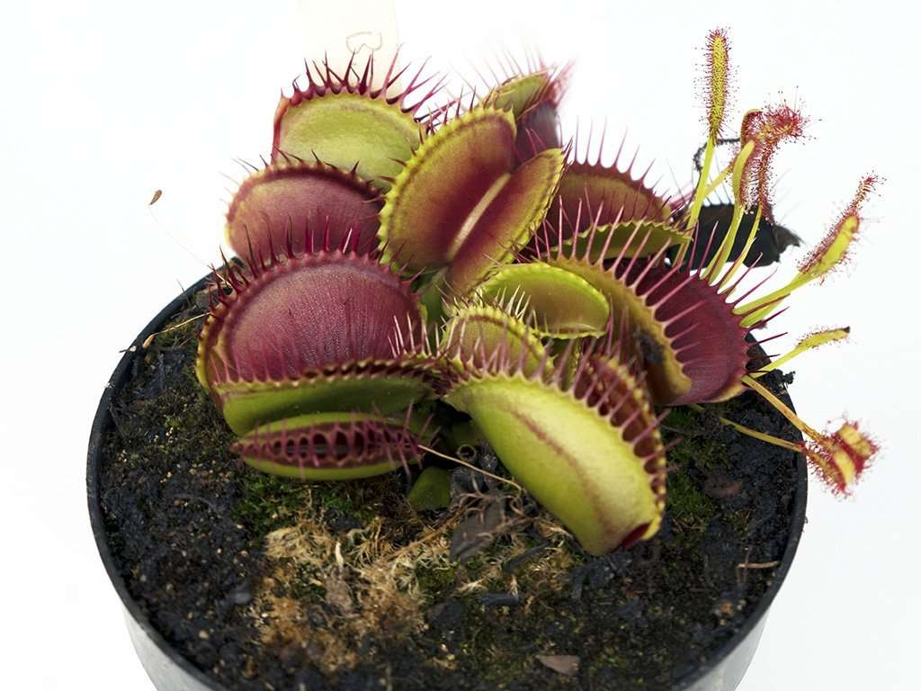 dionaea muscipula Big Mouth