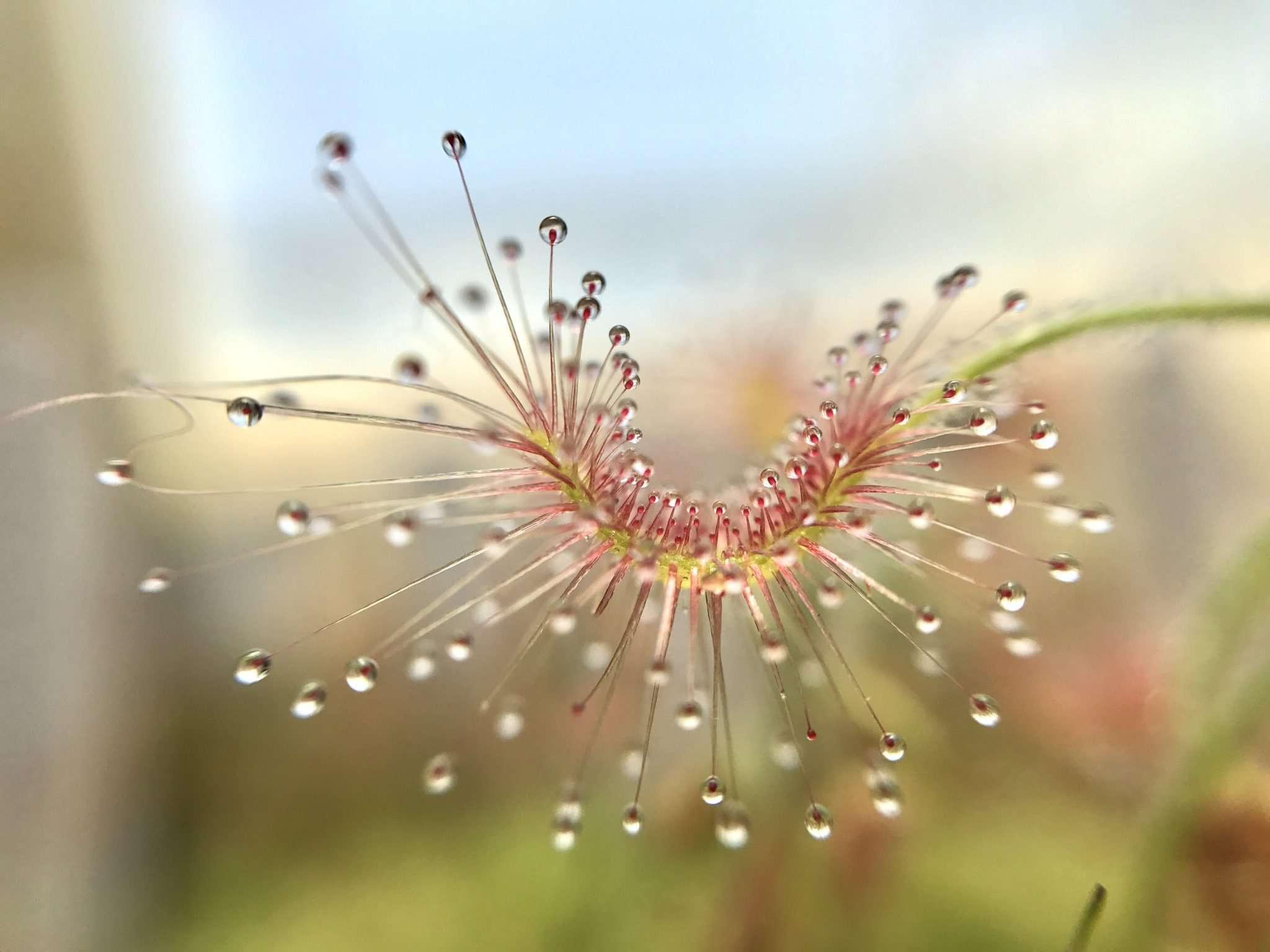 Drosera scorpioides leaf closeup