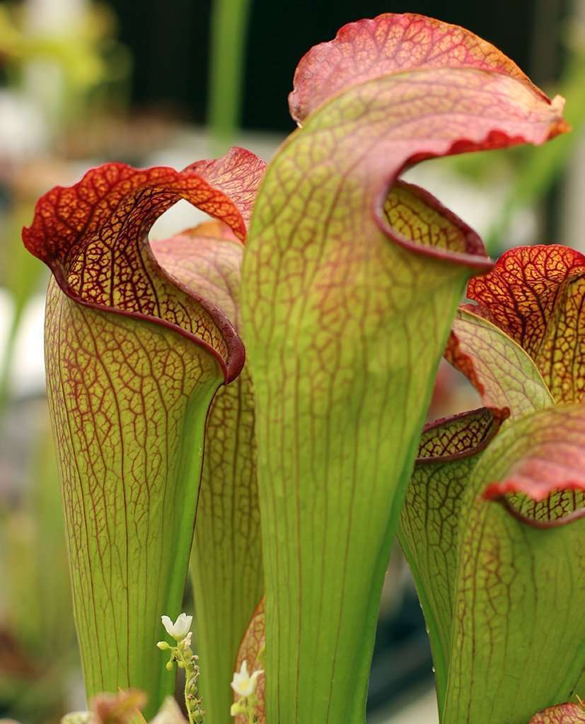 Sarracenia x 'Deep Throat'