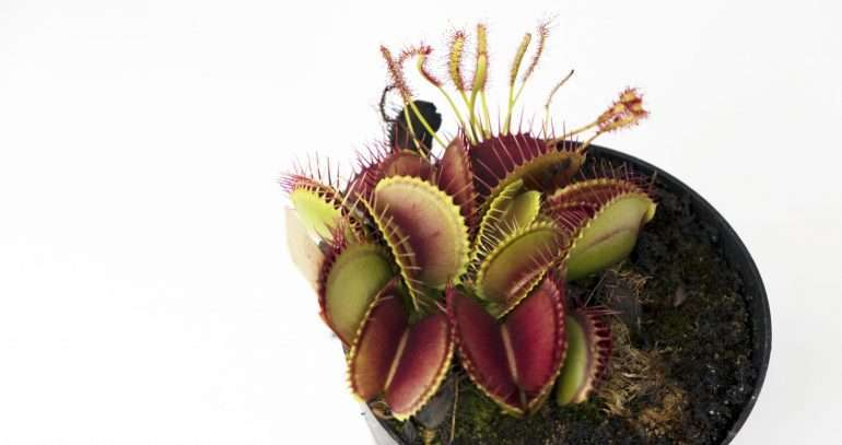 How To Care For Your Growing Venus Flytrap A Beginner S Guide