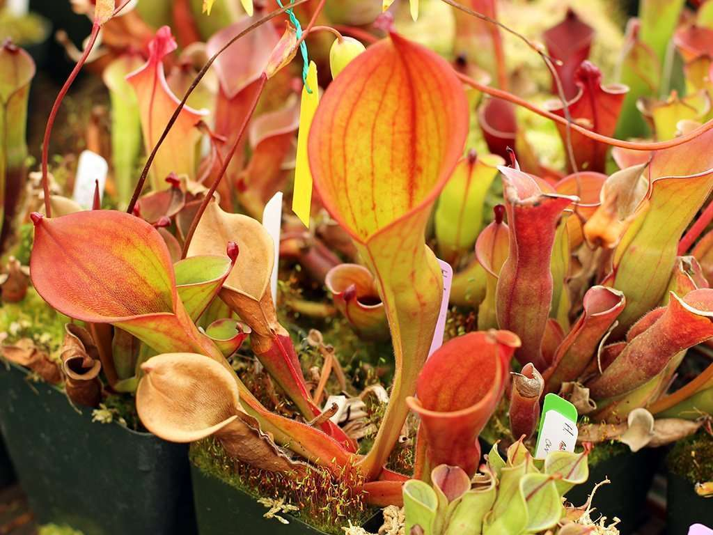 heliamphora ionasi sunpitcher plant