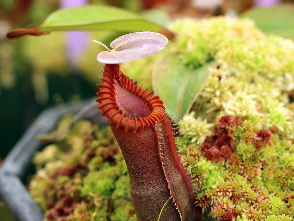 Nepenthes edwardsiana peristome