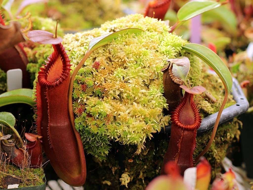 full Nepenthes edwardisana tropical pitcher plant