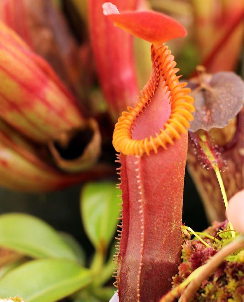 Nepenthes edwardsiana pitcher