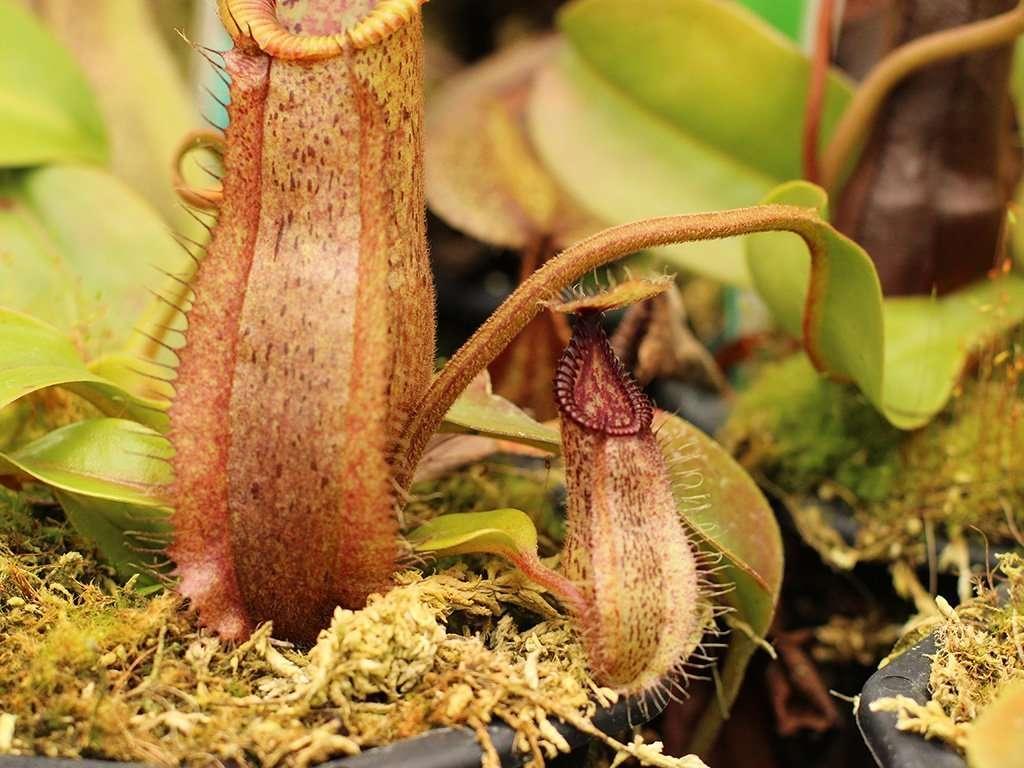 Nepenthes robcantleyi x hamata hybrid