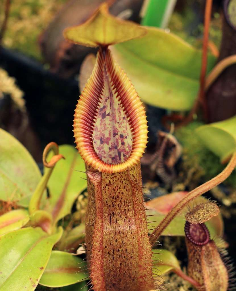 Nepenthes robcantleyi x hamata pitcher