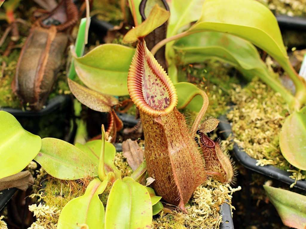 Nepenthes robcantleyi x hamata