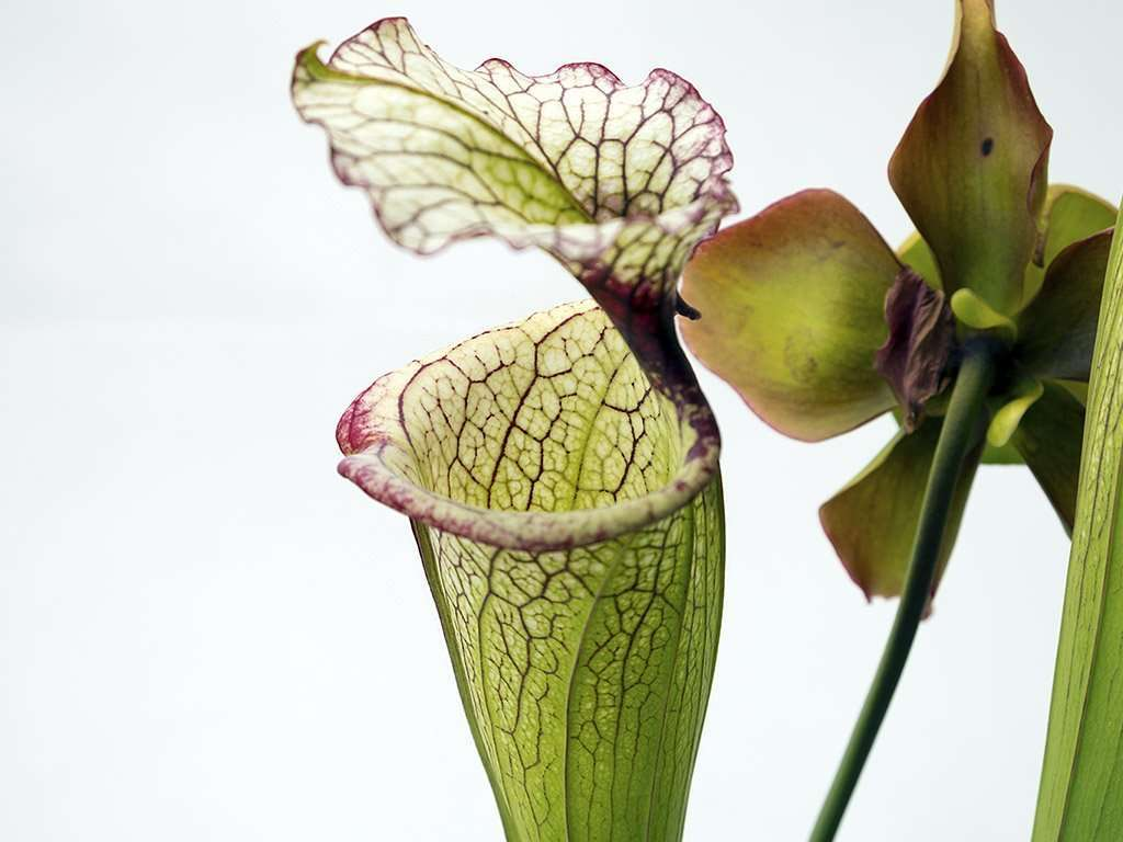 Sarracenia Leah Wilkerson is thought to be a naturally occurring moorei hybrid