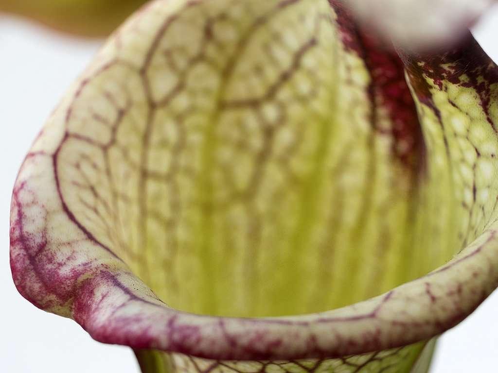 Sarracenia Leah Wilkerson lip