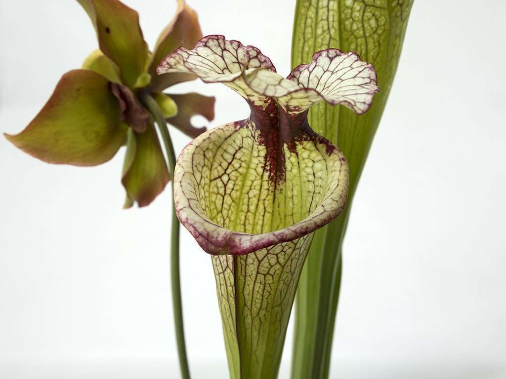 Sarracenia 'Leah Wilkerson' pitchers