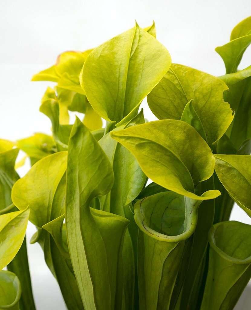 Sarracenia oreophila green pitcher plant