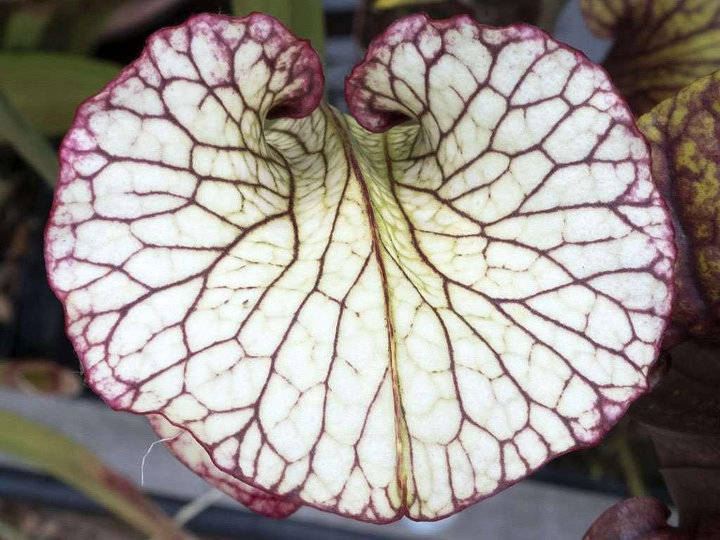 Full Sarracenia 'Leah Wilkerson' hood