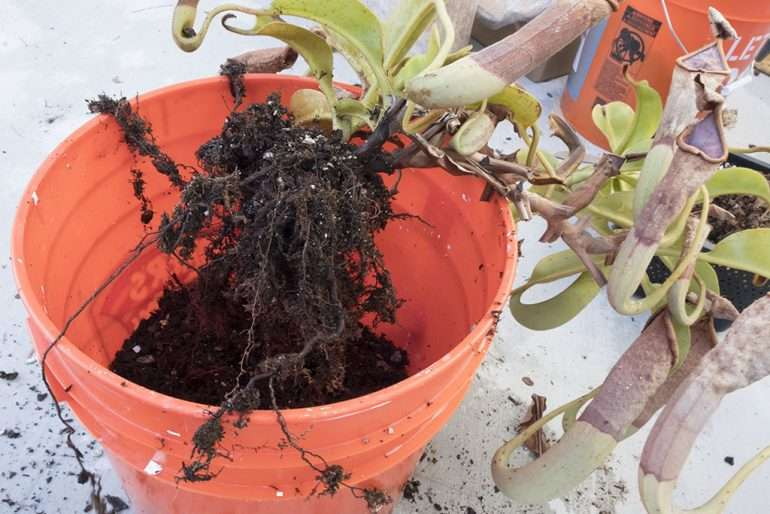 Nepenthes roots