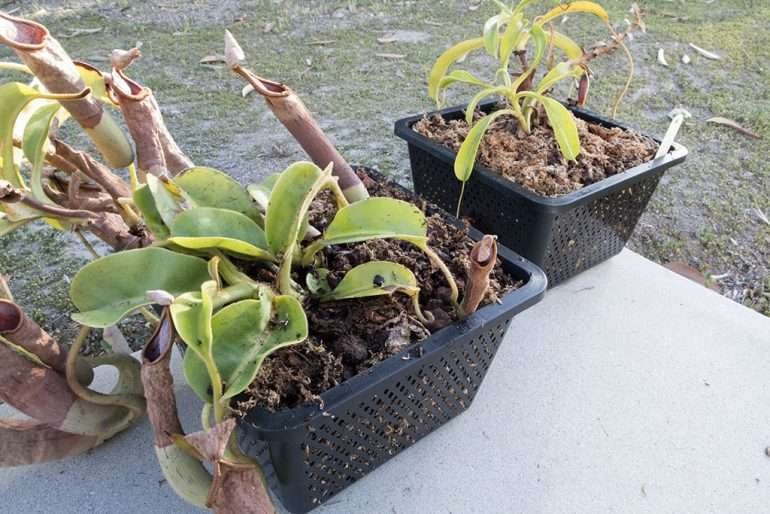 Nepenthes settled in fresh soil