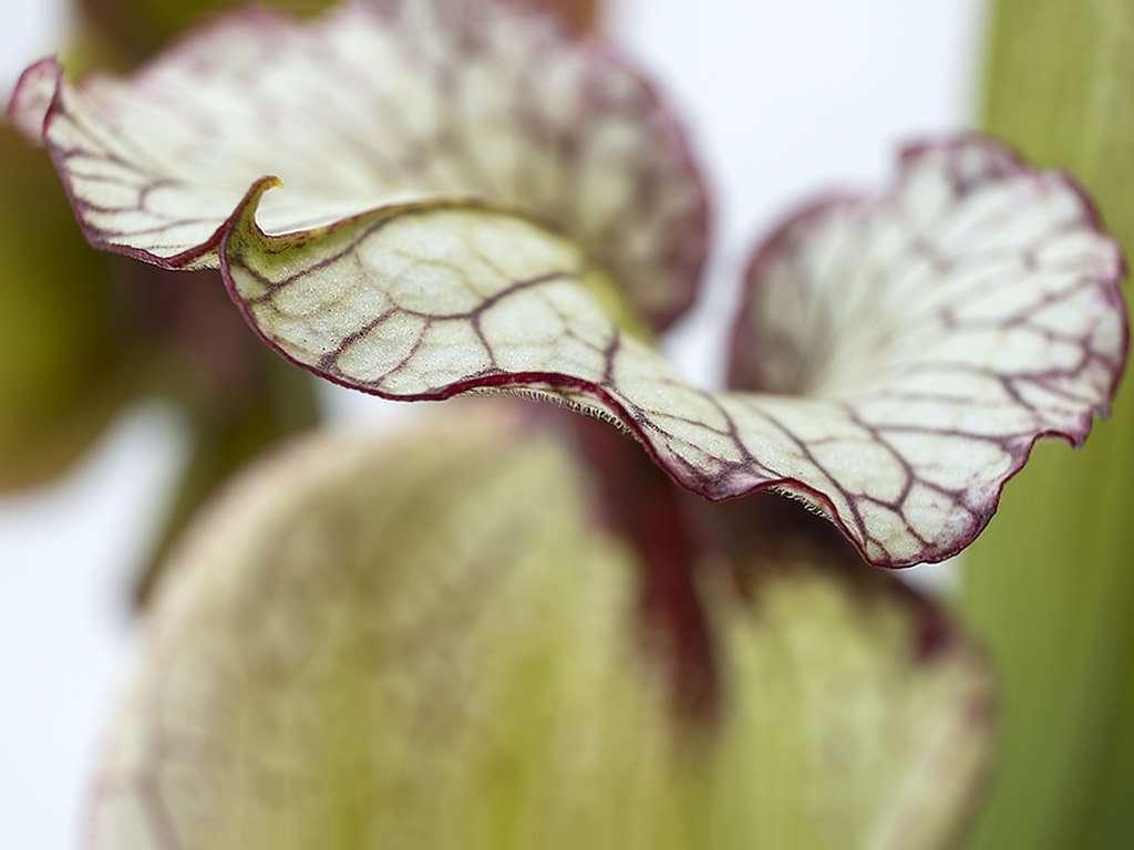 Sarracenia 'Leah Wilkerson' hood