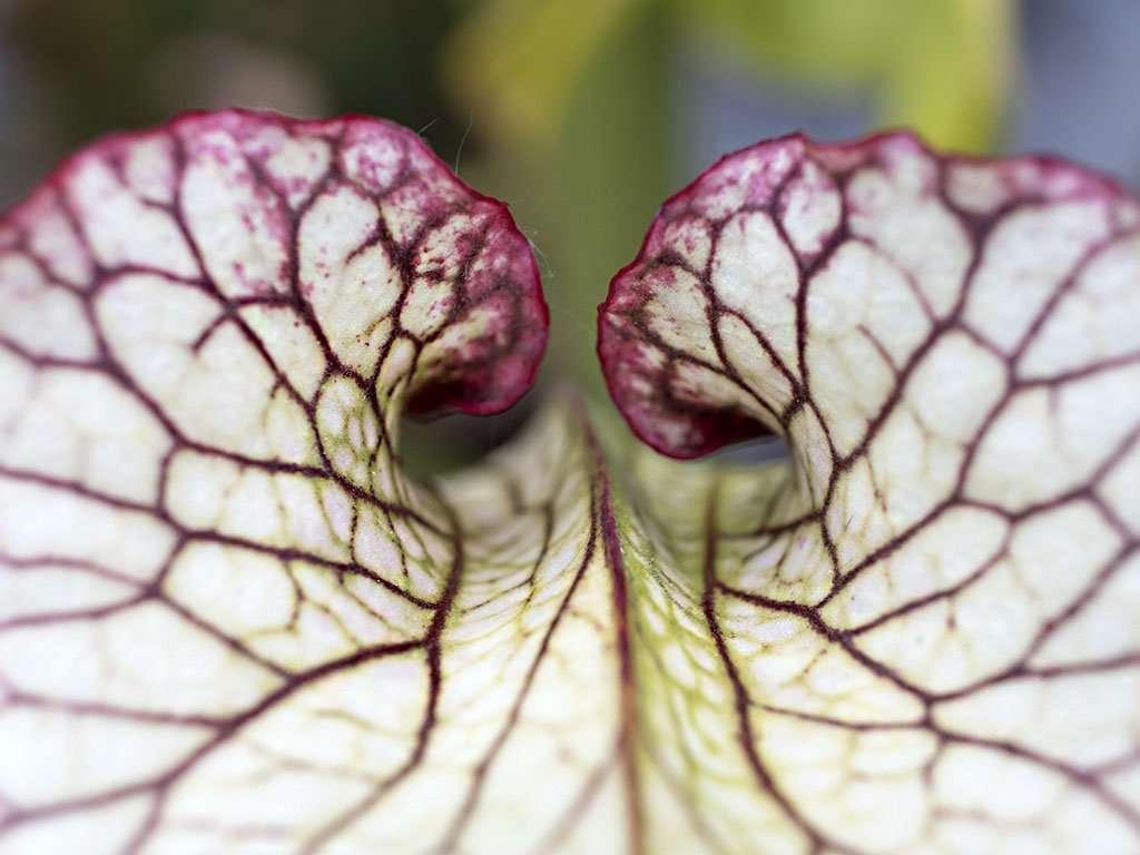 Sarracenia 'Leah Wilkerson' lid
