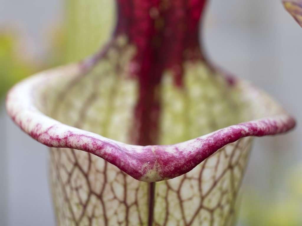 Sarracenia 'Leah Wilkerson' mouth
