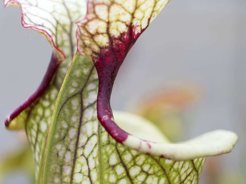 Sarracenia 'Leah Wilkerson' throat blotch