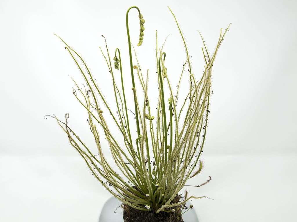 Drosera filiformis full sundew