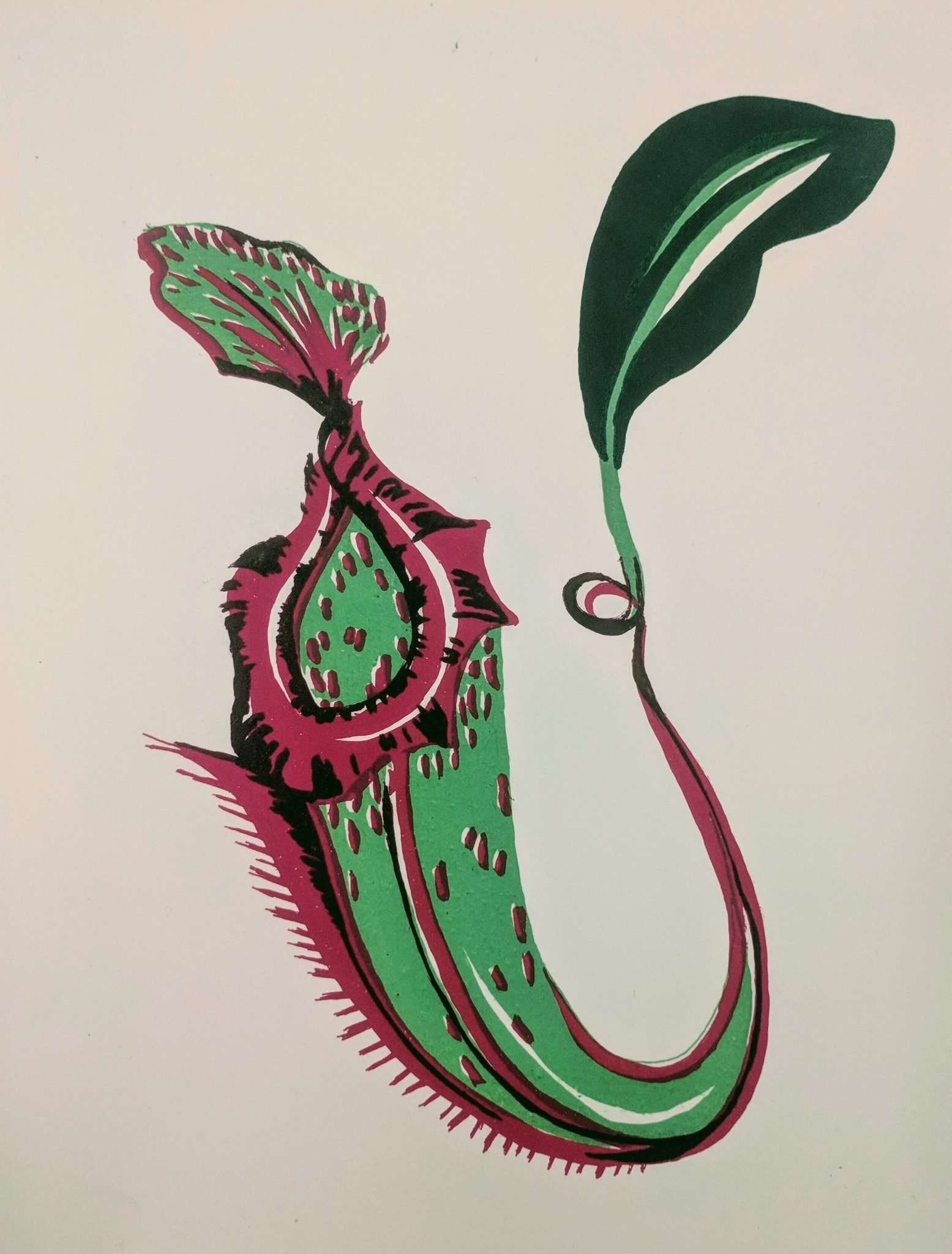 Pitcher Plant Lithograph Artist Print Carnivorous Plant Resource