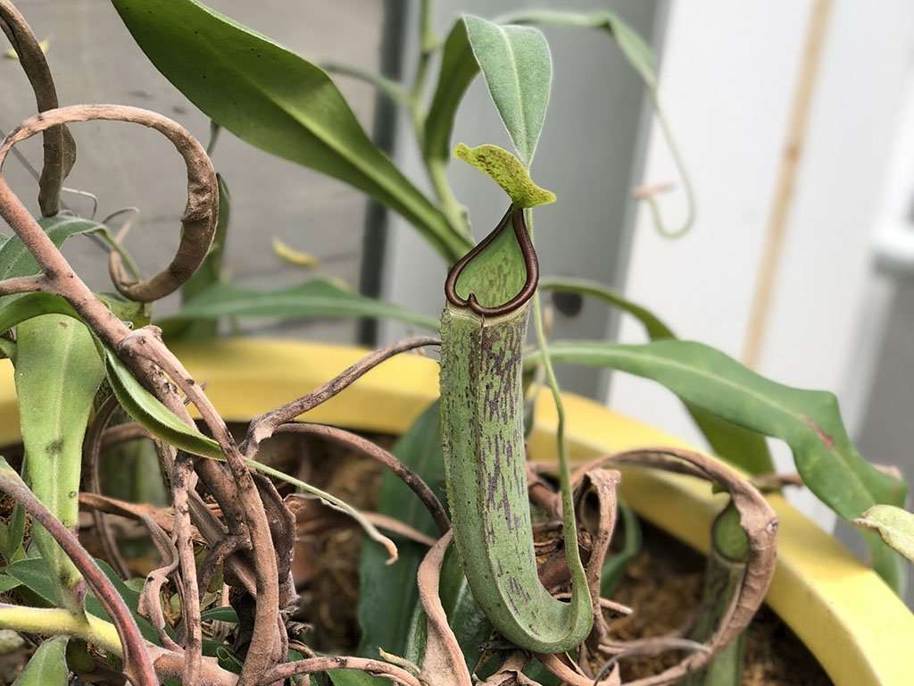 Nepenthes albomarginata green form lower pitcher
