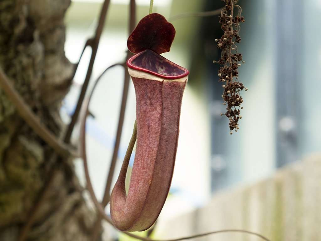 Nepenthes albomarginata pitcher side