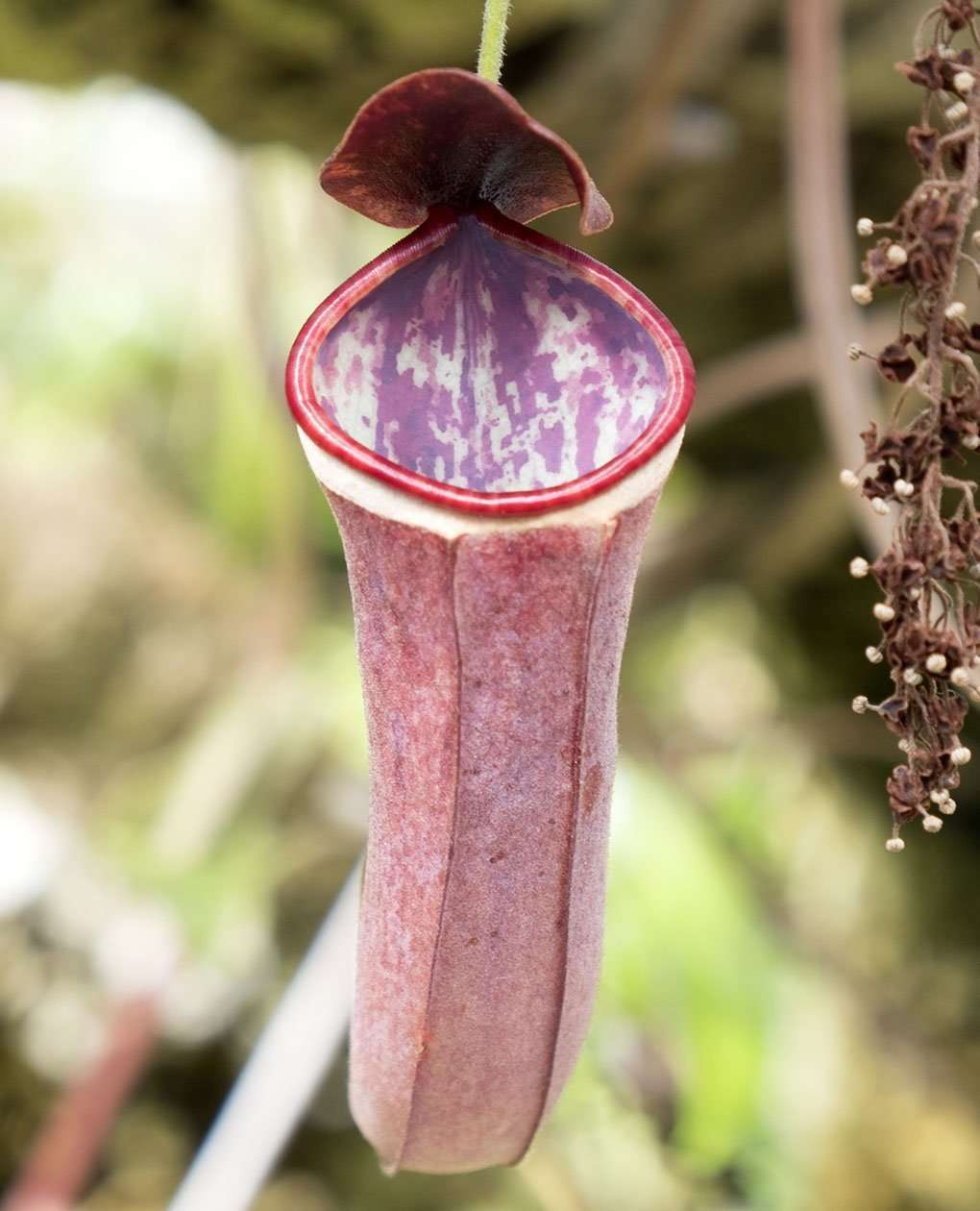 Nepenthes albomarginata pitcher