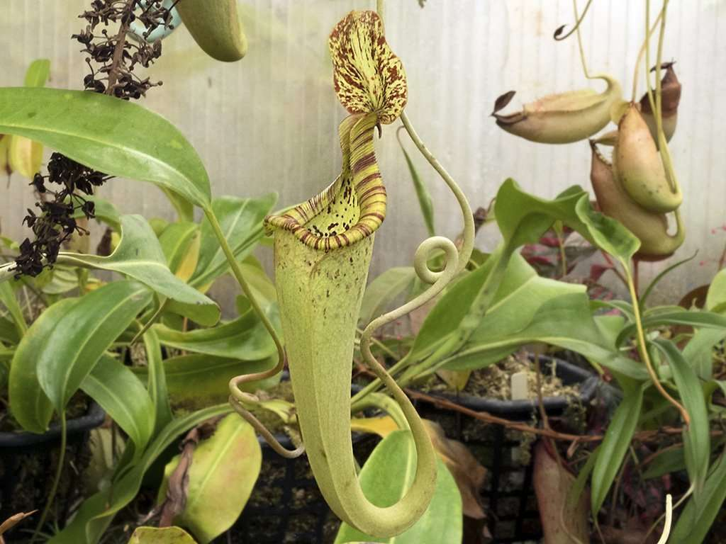 Nepenthes rafflesiana upper pitcher