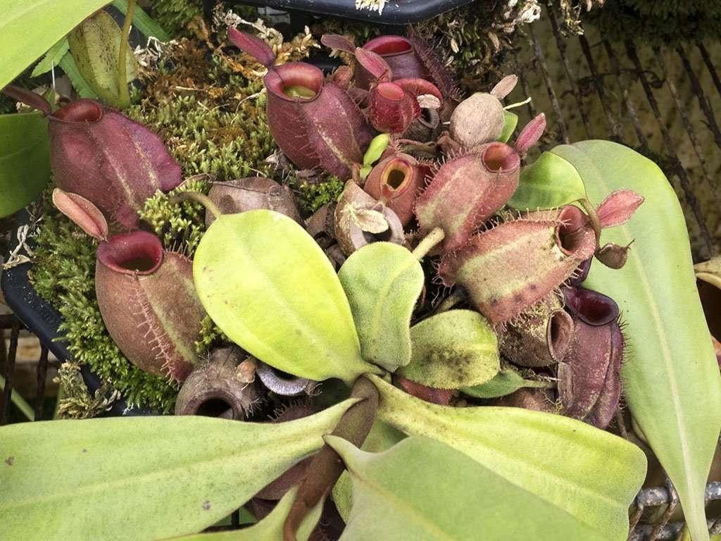 Nepenthes ampullaria cluster