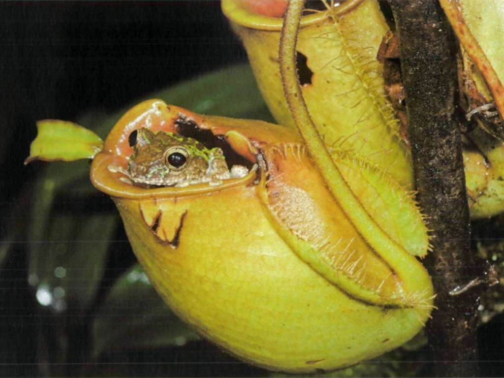 Frog in Nepenthes ampullaria pitcher