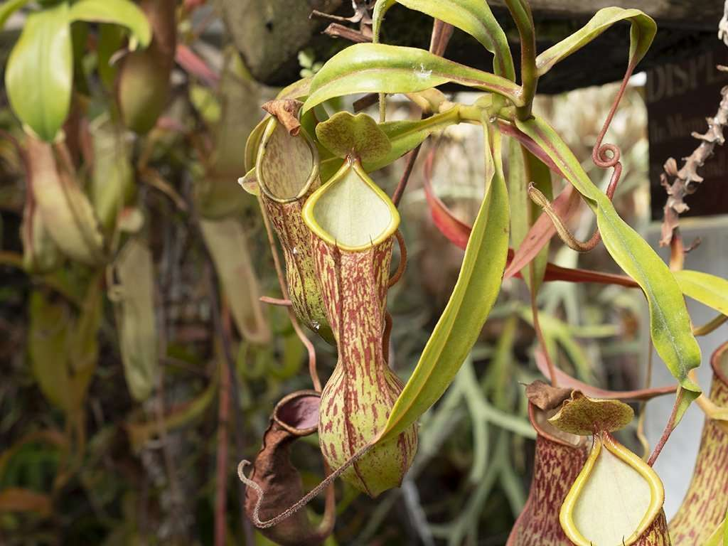Nepenthes alata lower pitcher